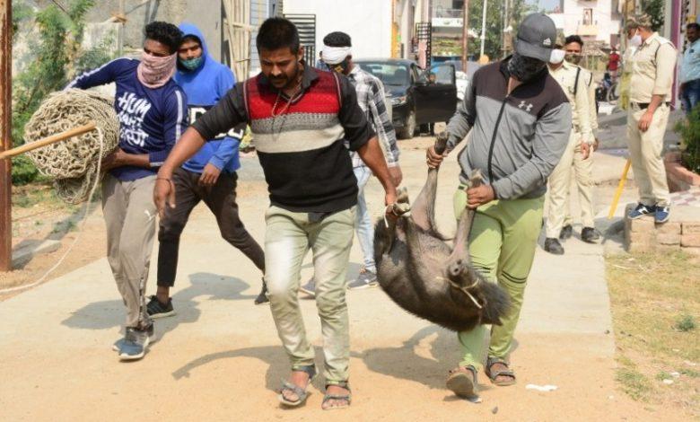 सुअर पकड़ों अभियान के तहत मंगलवार को निगम कर्मियों द्वारा 73 सुअरों को पकड़ा गया